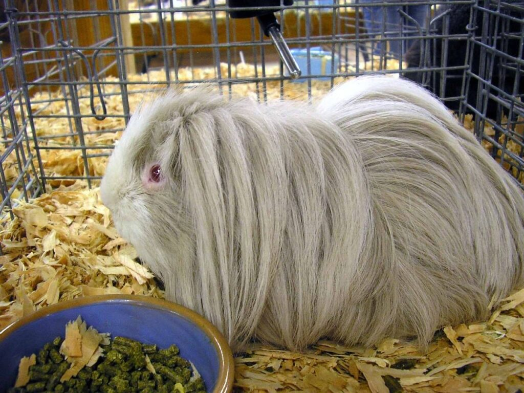 Can Guinea Pigs Eat Apricots? (Hazard, Serving Size & More)