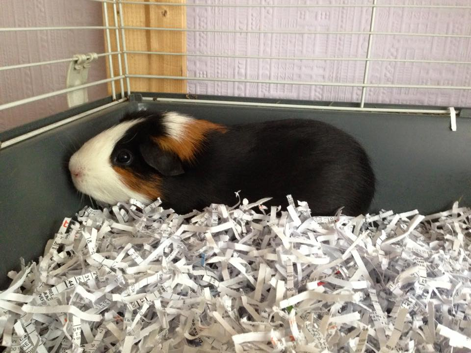 How to keep guinea pigs warm in winter? (Inside & Outside)