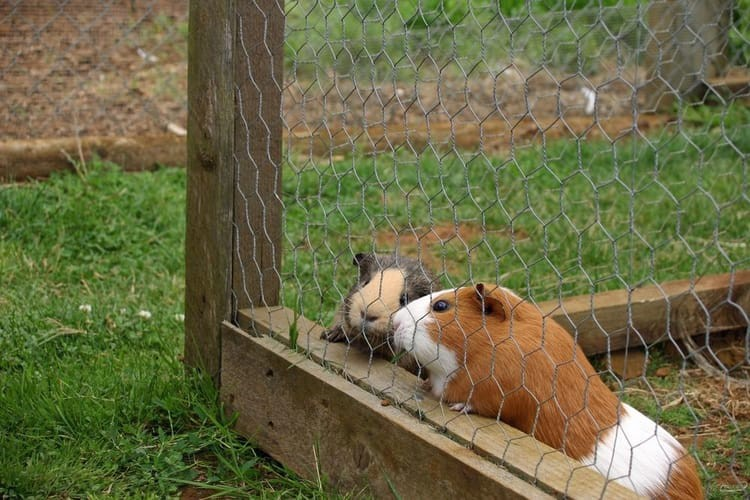 How To Litter Train A Guinea Pig (Step By Step+Tips+Best Litter To Buy)
