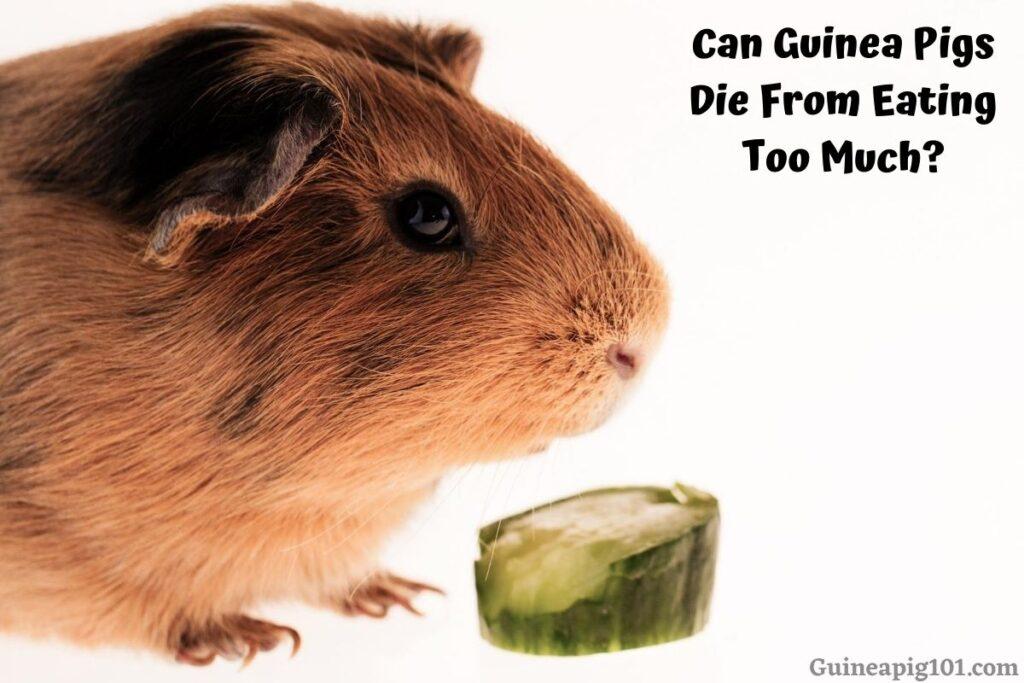 Can Guinea Pigs Die From Eating Too Much? (Hay, Veggies, Pellets, etc.)