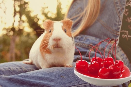 Can Guinea Pigs Eat Cherries? (Hazard, Serving Size & More)