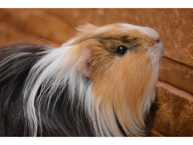 Can guinea pigs climb(Ramps, Cages, Tubes, etc.)?
