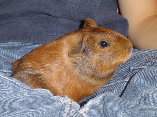 Can Guinea Pigs Live Alone? Is It Ok To Have Just One Guinea Pig?