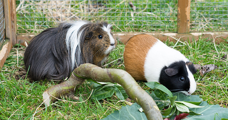 Can Guinea Pigs Find Their Way Home? (Looking For Lost Guinea Pig)