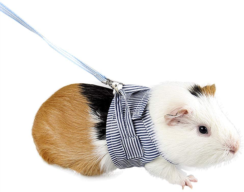 Can Guinea Pigs Wear Collars? (Harness+Training)