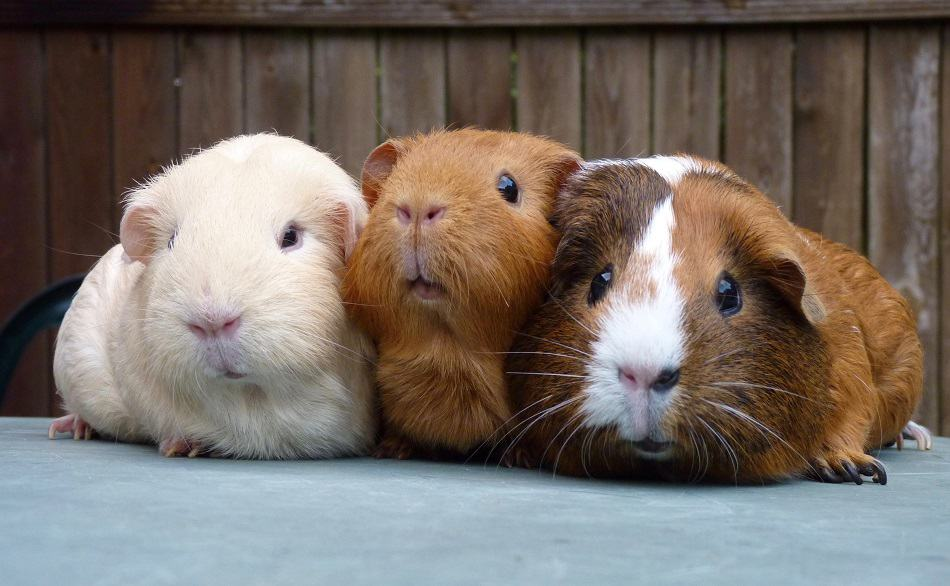 Mounting Behavior In Guinea Pigs: What Does It Mean+Why They Do So