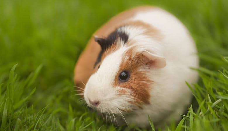 Do Guinea Pigs Have Sweat Glands? (Overheat & Cooling Down)