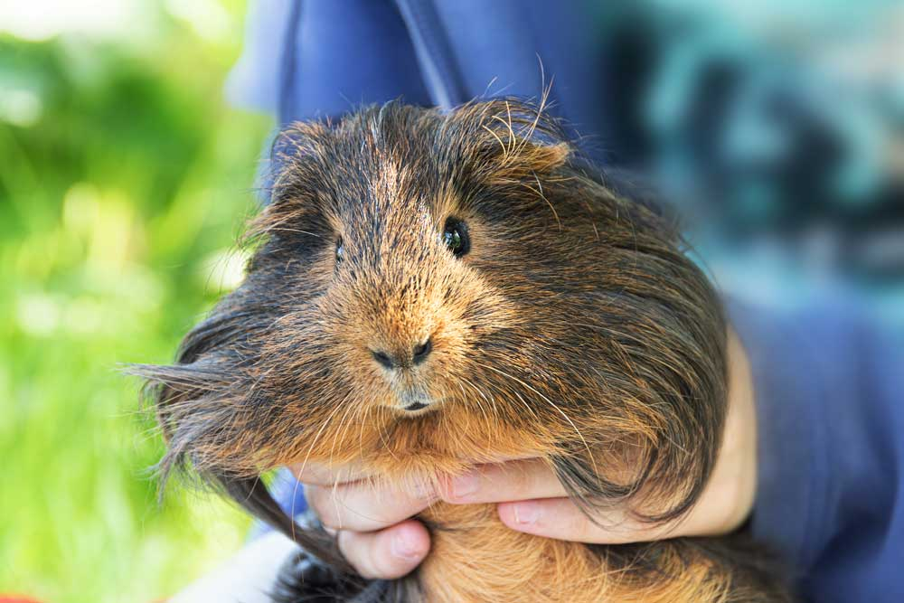How To Get Rid Of Matted Guinea Pig Hair? (Causes and How-to guide)