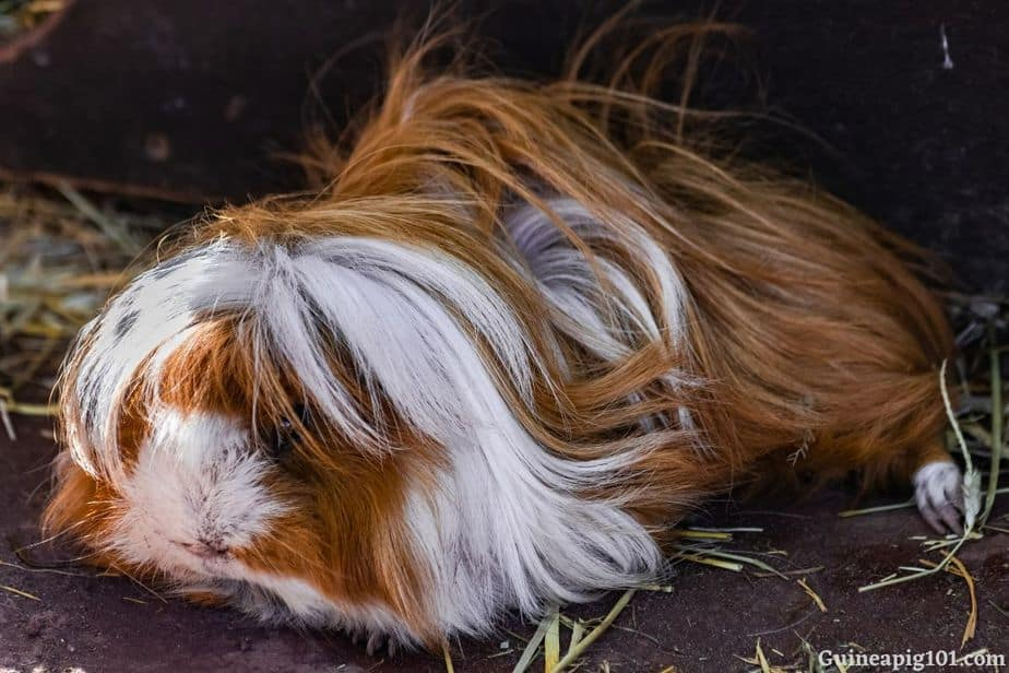Why Is My Guinea Pig Not Playing? (Reasons+What To Do+Fun Games)
