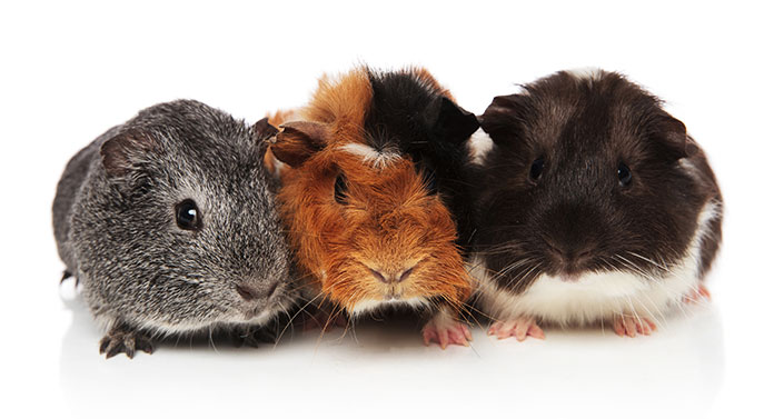 At What Age Can Guinea Pigs Breed? (Pregnancy Complication+Care)
