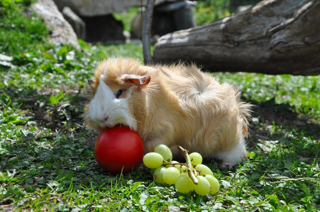 Can Guinea Pigs Eat Gooseberries? (Hazards, Serving Size & More)