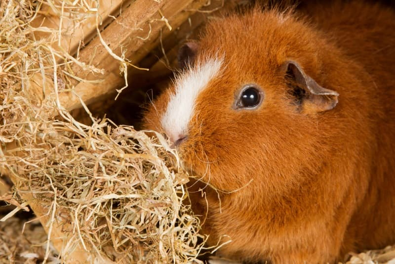 How Much Hay Do Guinea Pigs eat a Day? (Pack to buy, Storage & more)