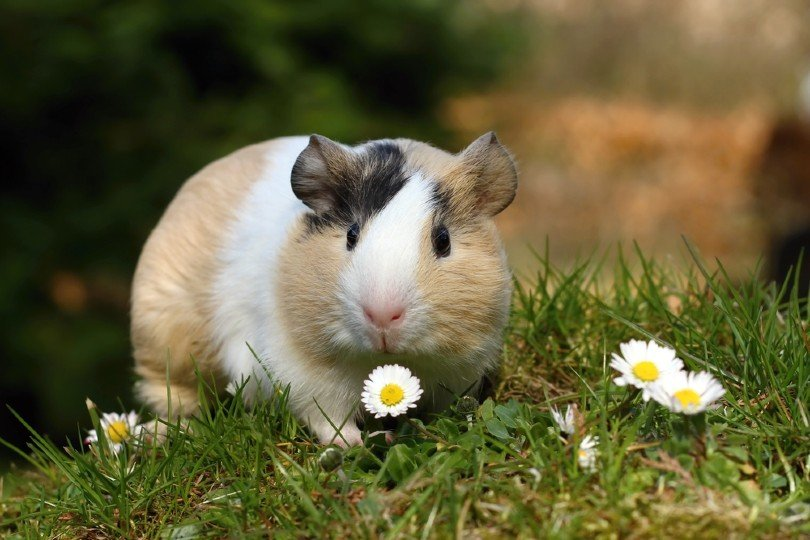 How Long Can You Leave Your Guinea Pig Alone? (A Day, Weekend or More)