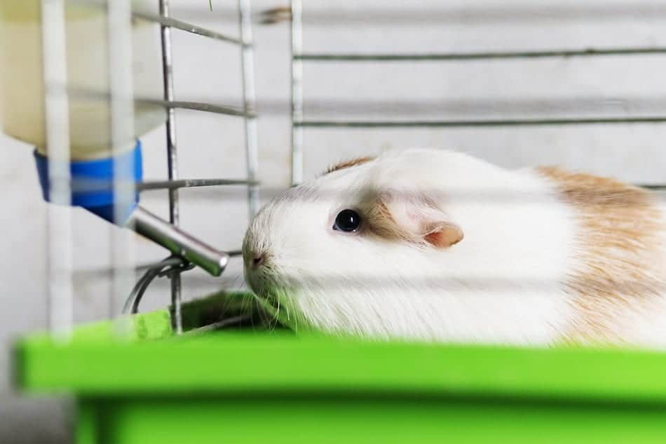 How Long Can Guinea Pigs Go Without Water? (Dehydration+Treatment)