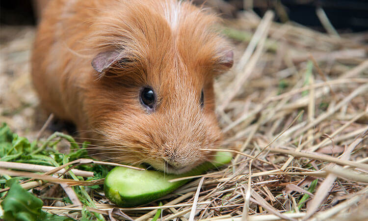 How Long Can Guinea Pigs Go Without Food? (Hay, Veggies, Pellets)