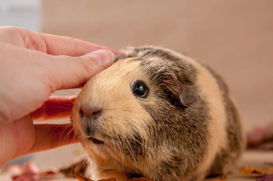 Do Guinea Pigs Show Affection? (Compared To Rabbits, Cats & Dogs)
