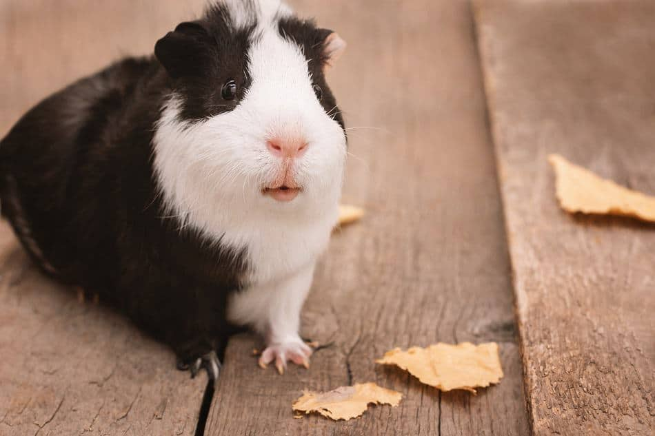 Why Is My Guinea Pig Wet Under His Chin? (Guinea Pig Drooling)