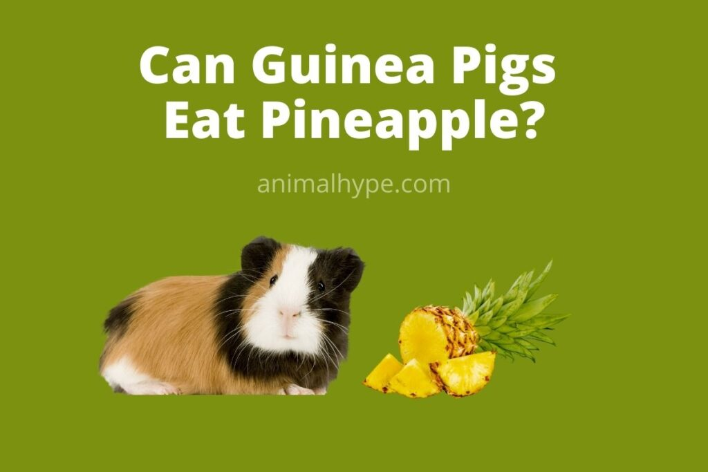 Can guinea pigs eat pineapple? (Serving size, Hazards & more)