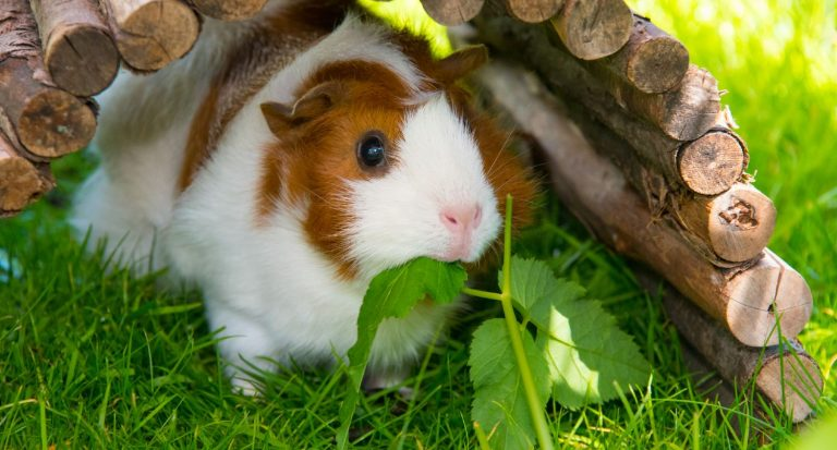 Do Guinea Pigs Attract Snakes? (Keeping Your Guinea Pigs Safe)