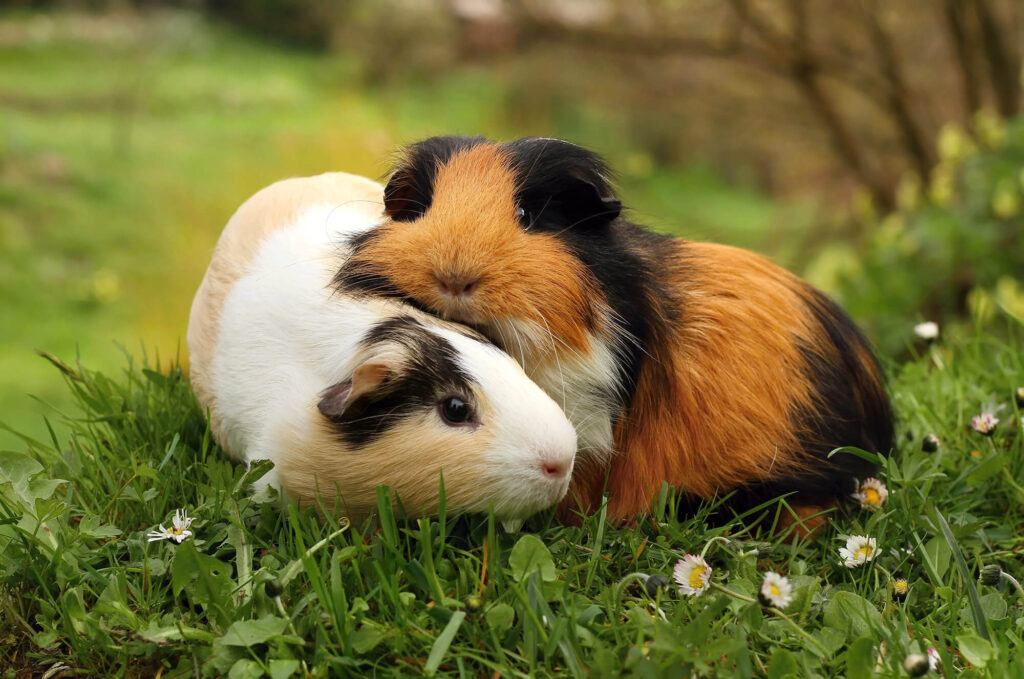 Are guinea pigs cuddly? Tips for building a close bond with them!