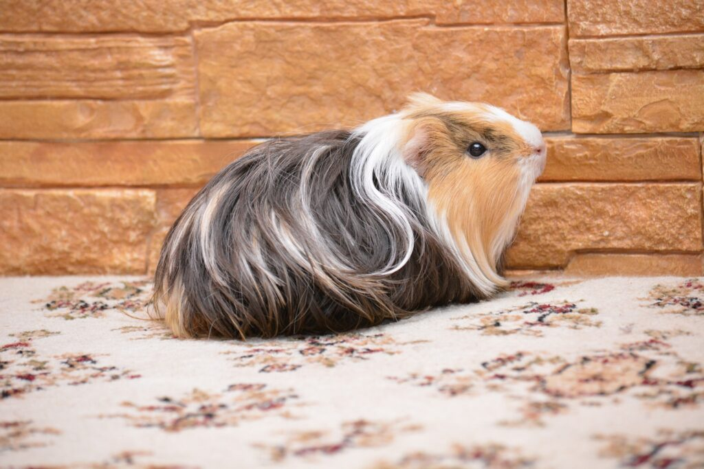 Are Guinea Pigs Destructive? (Learn All About Their Bad Behavior)