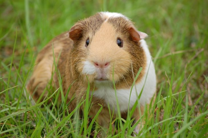 What Does Normal Guinea Pig Urine Look Like? (Urine Chart+Problems)
