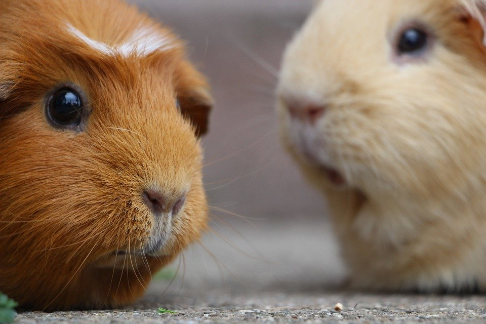 Can Guinea Pigs Eat Meat? [Not At All-This Is What Happens If They Do]