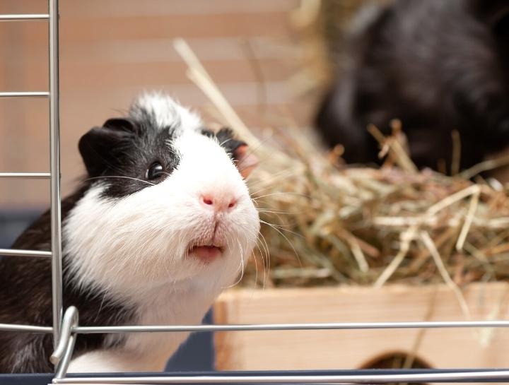 Why Is My Guinea Pig Grinding His Teeth? (Causes+What To Do)