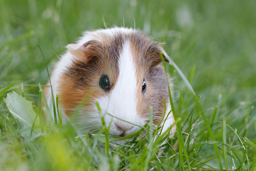 Why Is My Guinea Pig Coughing? (Causes & Remedies)