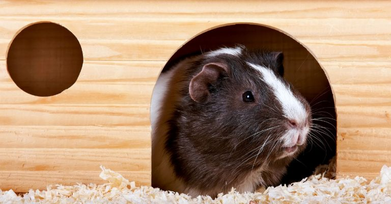 Why Is My Guinea Pig Always Hiding? (Reasons+What To Do)
