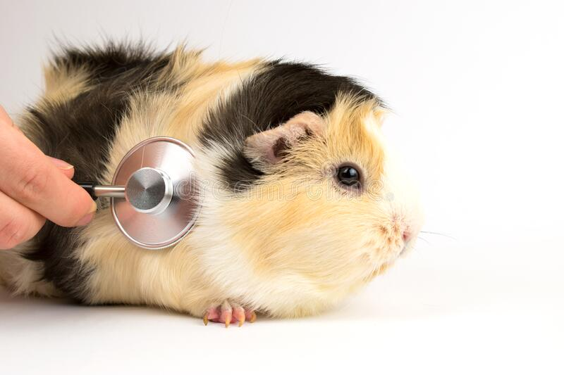Guinea Pig Heart Attack: Signs, Symptoms, Causes, and Treatment