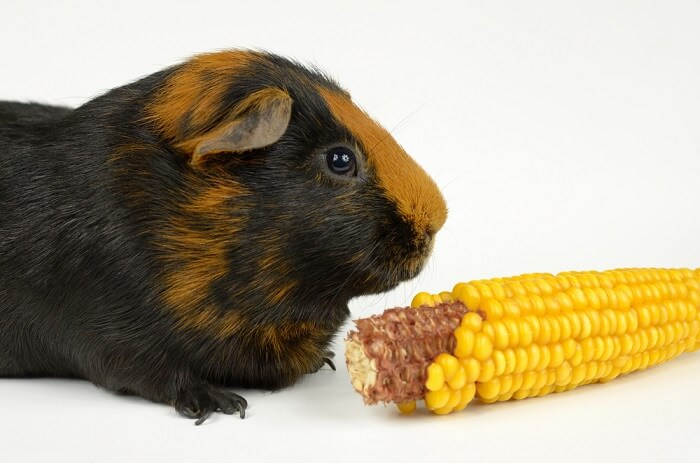 Can Guinea Pigs Eat Corn? (Corn on the cob, Husk, Leaves, & More)