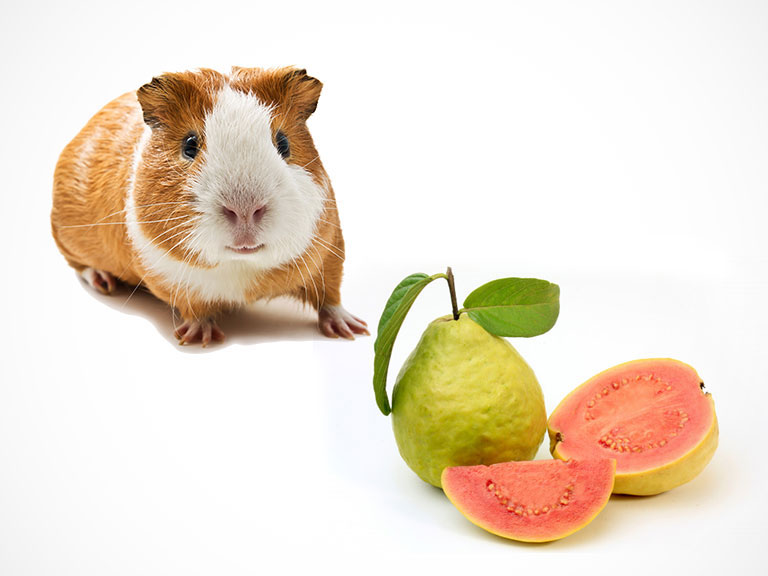 Can Guinea Pigs Eat Guava? (Hazards, Serving Size & More)