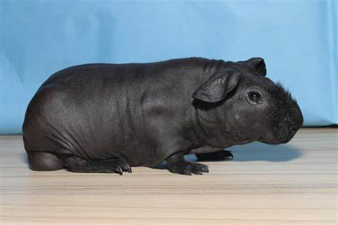 Skinny pigs (Hairless guinea pigs): Breed Spotlight(Care, Diet, Cost, & More)
