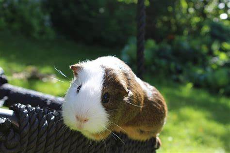 Why is my guinea pig purring? (Causes & What you can do about it)