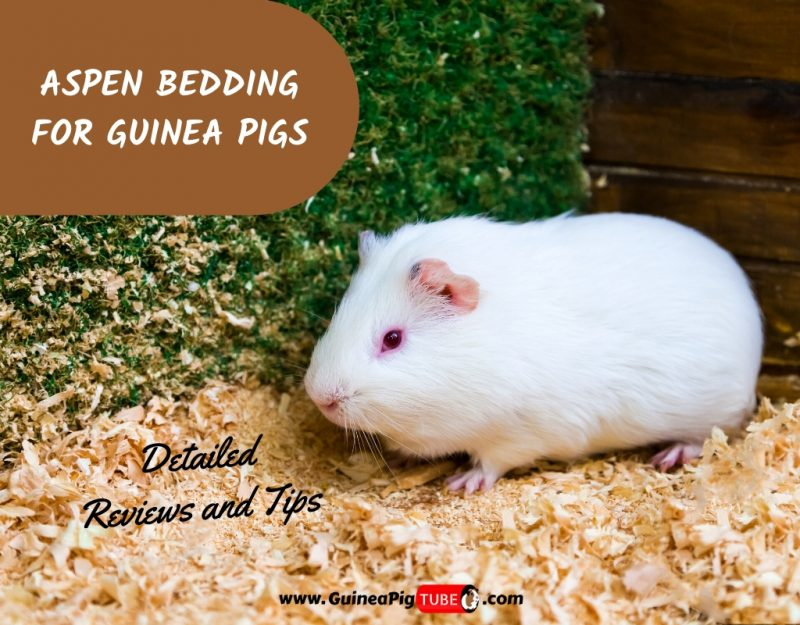 Is aspen bedding good for guinea pigs? A Complete Owners Guide!