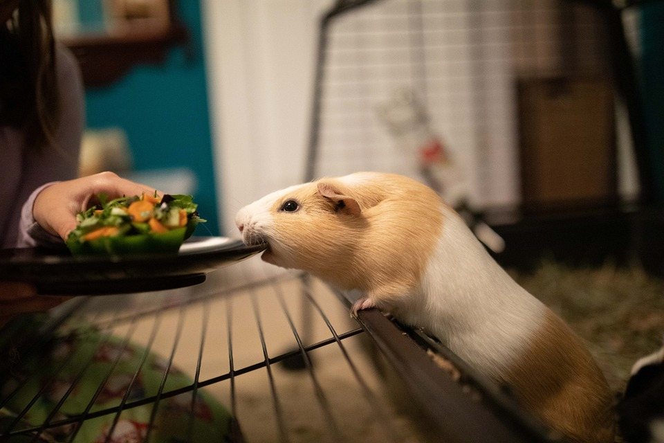 Can Guinea Pigs Understand Words? (+Voice, Sign & Body language)