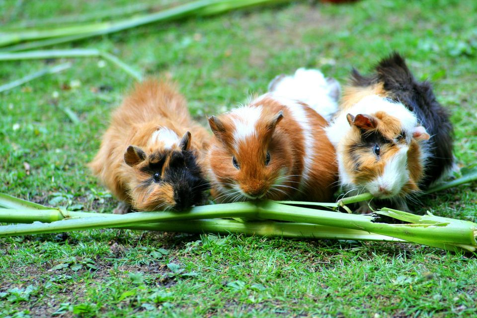 What do you do if your guinea pig won't eat vegetables? (Reasons & Tips)