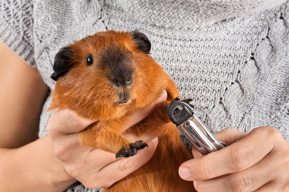 Guinea Pig Nail Broke Off? (Injured, Ripped off, Fell Off + Recovery)