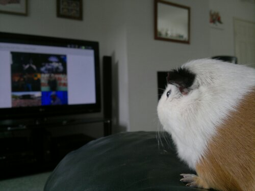 Do Guinea Pigs Like To Watch TV? (Safety+Their Preference)