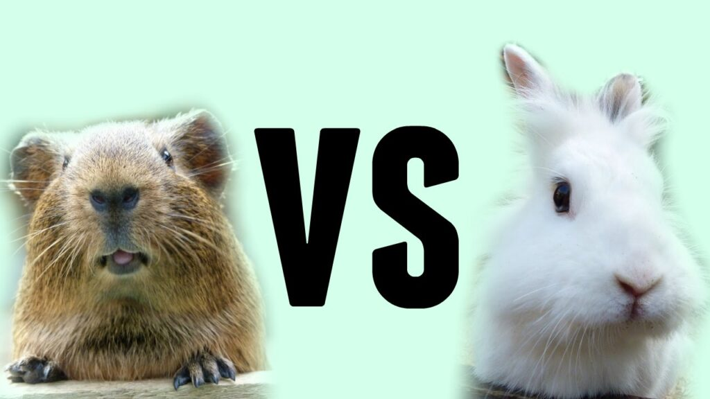 Guinea pig Vs. Rabbit: Which is a better pet for you?